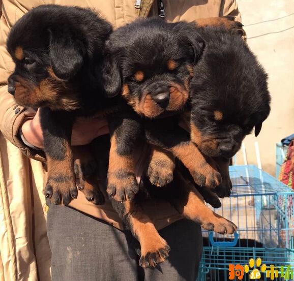 云南普洱买罗威纳小狗哪里有卖纯种罗威纳幼犬出售