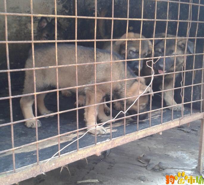 纯种昆明犬幼犬出售云南普洱买昆明犬小狗哪里有卖