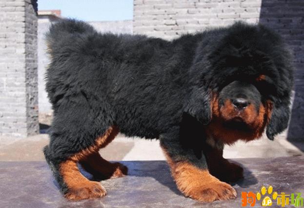 纯种藏獒幼犬红色铁包金 狮头藏獒产地货源零售报价