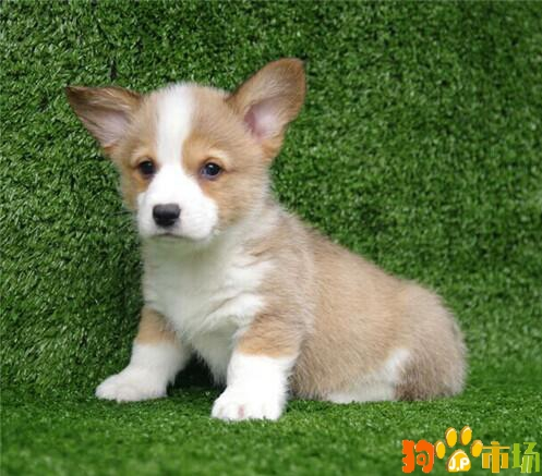 柯基小狗市场价格多少 柯基犬两色和三色哪种好看
