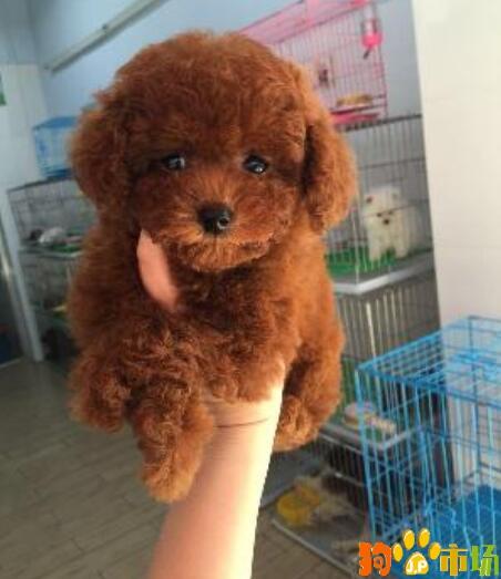 纯种泰迪犬白色黑色灰色红色 泰迪小狗茶杯体玩具型