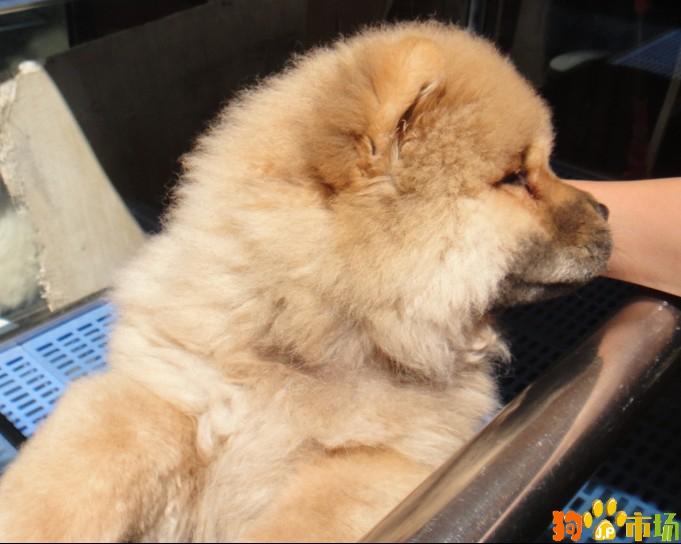 狗狗活体松狮犬昆明宠物狗松狮犬厂家直销多重保障
