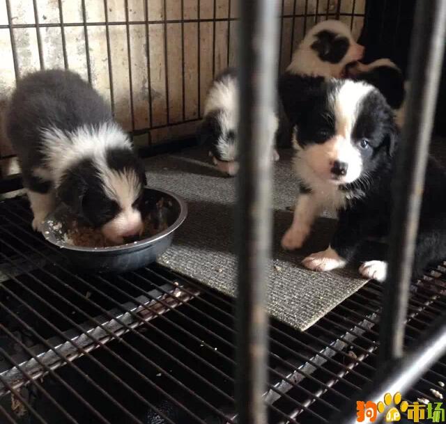昆明边境牧羊犬养殖场直供二月龄边牧幼犬小狗开窝