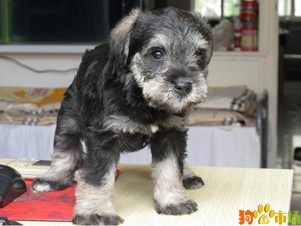昆明宠物狗雪纳瑞幼犬养殖场新款雪纳瑞小狗特卖
