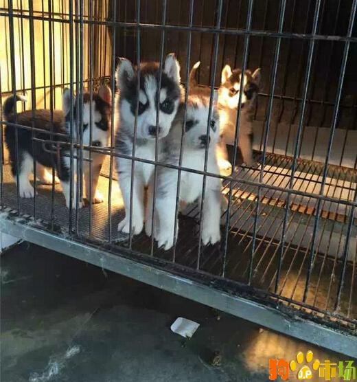 纯种哈士奇幼犬2021昆明市哈士奇小狗养殖场特卖