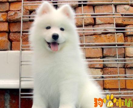 纯种活体萨摩耶养殖场昆明萨摩耶幼犬新款厂家直卖