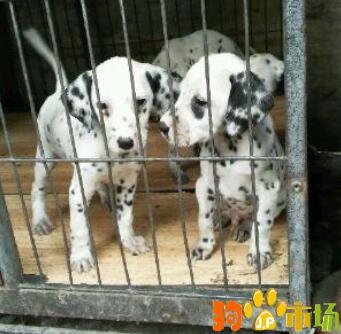 昆明本地区斑点狗活体幼犬2021年养殖场直销