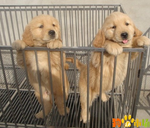 昆明本地区纯种金毛活体幼犬2021年养殖场直销